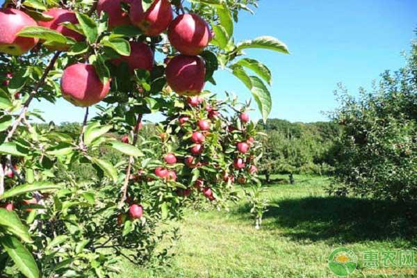 果树秋施基肥的方法