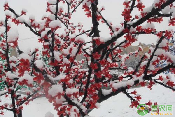 红腊梅种子