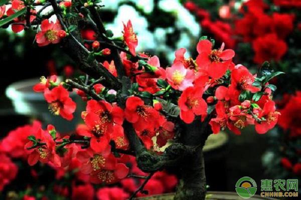 红腊梅种子种植方法