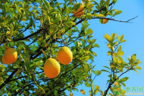 柚子樹凍害