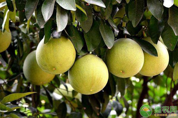 柚子樹凍害的補救措施